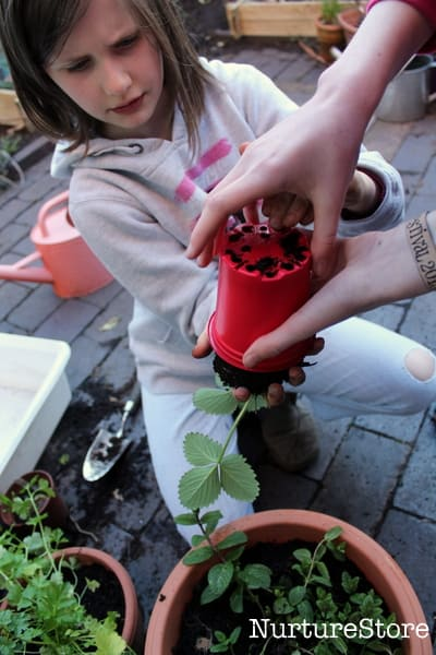 the best way to grow strawberries in containers