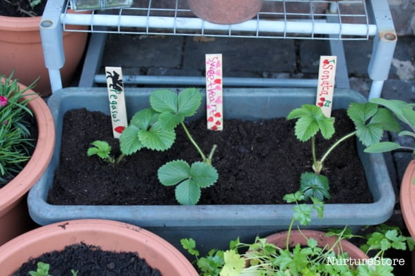 how to grow strawberry plants in containers