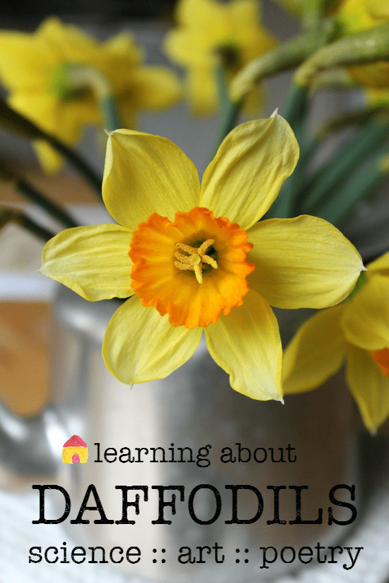 learning about daffodils :: spring science project :: daffodil art :: printable Daffodils poem