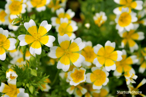 growing poached egg plants