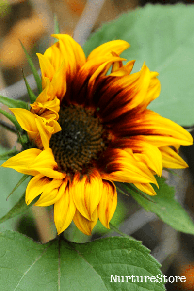 sunflowers in the garden classroom