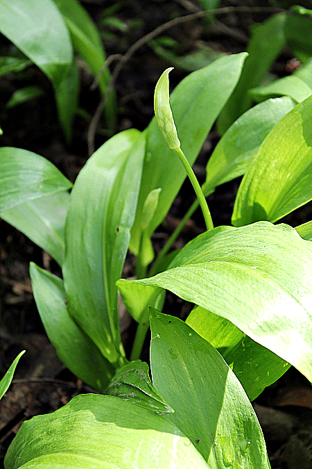 how to identify wild garlic
