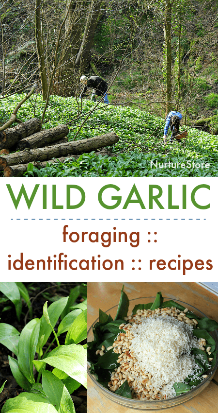 easy wild garlic recipes, how to identify wild garlic, wild garlic pesto recipe