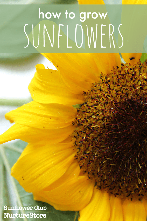 72aa69ecc How to grow sunflowers with children - NurtureStore