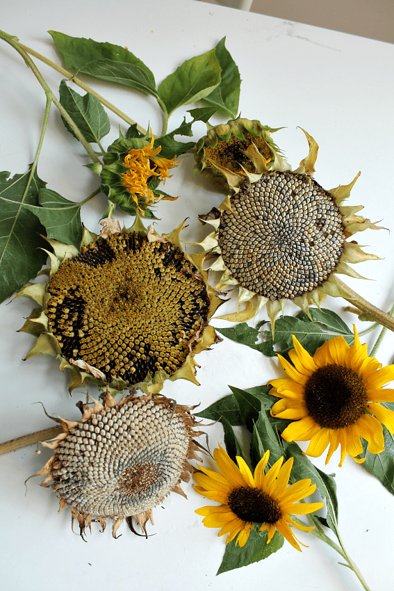 sunflower nature study for children