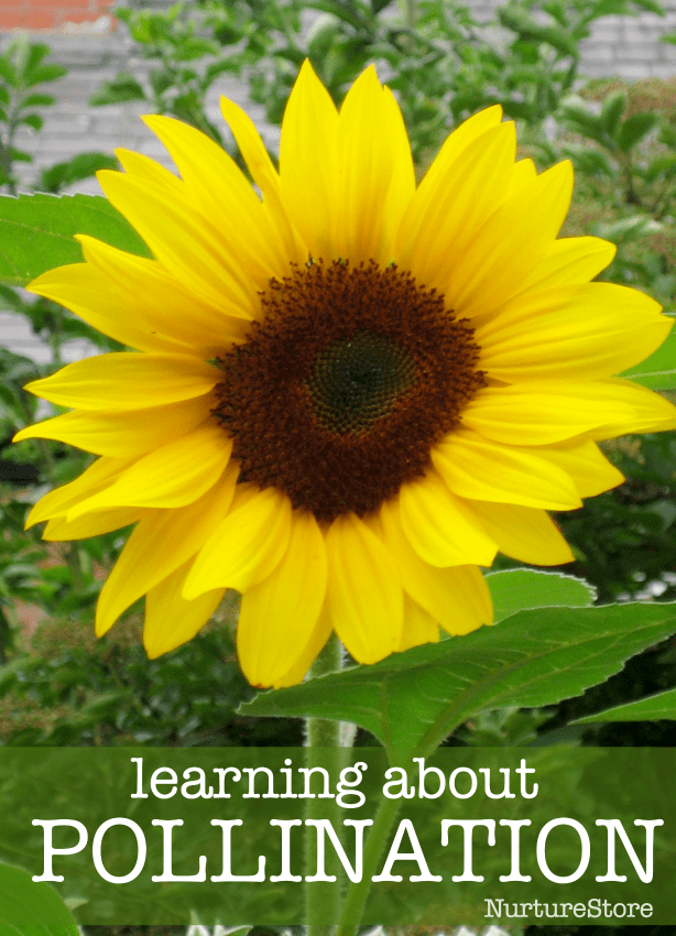 what is pollination lesson plan, bee unit, learning about pollination lesson