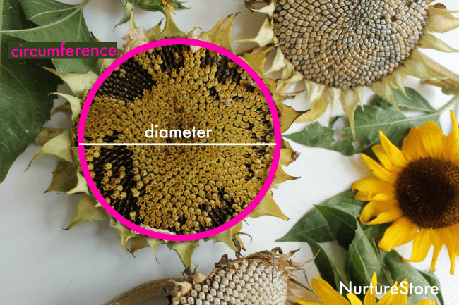 diameter circumference sunflower