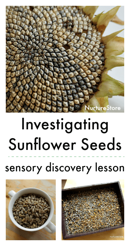 investigating sunflower seeds lesson, sunflower sensory tub